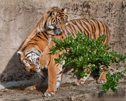 Catch a Tiger by the Toe by robbobert