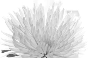 Chrysanthemum 4 by daily-telegraph