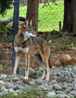 Red Wolf I by Track-Maidens