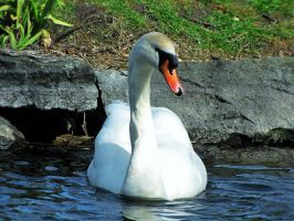 Swan on the Pond #2 by amaryllis-bloom
