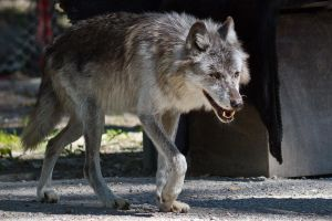 Grey Wolf by ChristophMaier