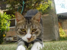 Beautiful Cat by Obedecealpanecillo