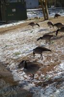 Geese5 by stockicide