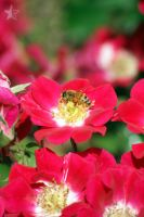 50PT:Insects - Busy Bee by dssken