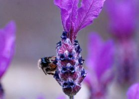 Bee on Lavender 2 by Mark-Allison