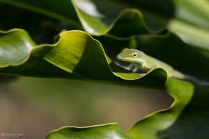 One more green anole by CyclicalCore