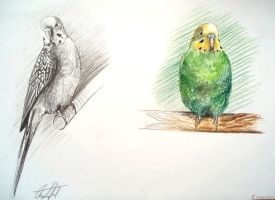 Sketches - budgies II. by Ennete