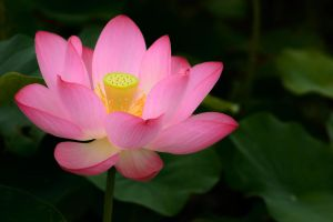Lotus by NorthBlue