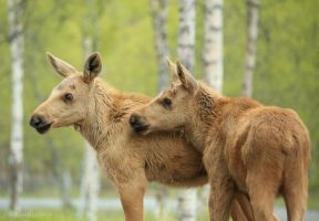 Baby Moose Twins by bluediabolo