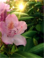 Rhododendron II by digitalTouch