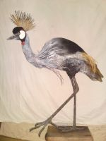 Grey Crowned Crane by mattcummings