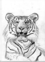 White Tiger by Oll
