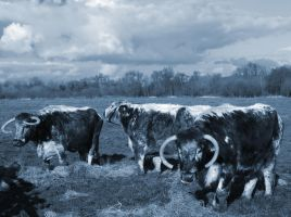 English Longhorns by graphic-rusty