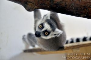 Ring-tailed Lemur 2010 by cinnabarr