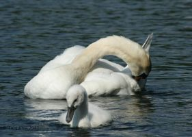 Swans: Grooming by Tarquinia