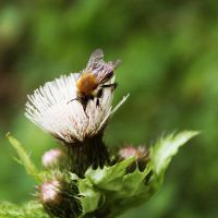 fly on thistle by mirop
