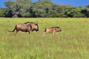 Blue Wildebeest - Leading Mom Around by LivingWild