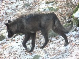 Black Wolf Walking by AngelSTOCK22