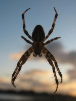 Spider by Chihito