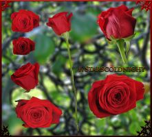 Red roses 9 PNG by starscoldnight by StarsColdNight