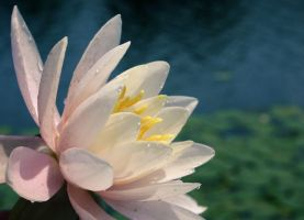 Water Lily by morphinetears36