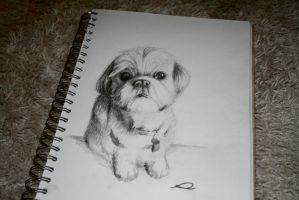 Shih Tzu by RhynWilliams