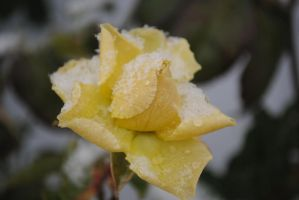 Yellow Rose with Snow by OhThereYouArePerry