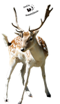 Cut-out stock PNG 27 - young deer by Momotte2stocks