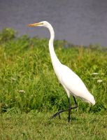 great egret by photom17