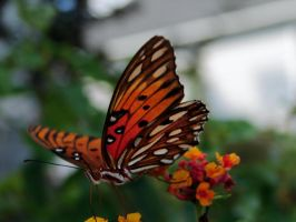 Gulf Fritillary Butterfly 2 by Squirrelflight-77