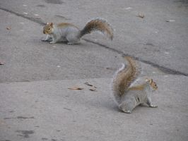 Animals 090 squirrels by Dreamcatcher-stock