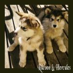 Racoon + Hercules by Arcticlightning