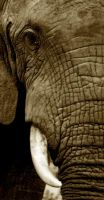 Elephant Portrait by TheBushmanZA