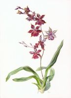 Oncidium by gudzolga