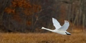 Tundra Swan against woods by DGAnder