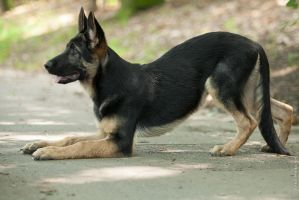 Little german shepherd by anna-photo-net