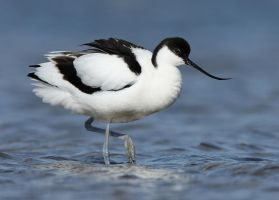 Avocet by Albi748