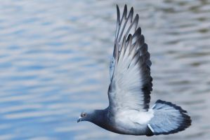 Wild pigeon in flight by 88-Lawstock