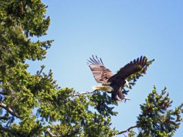 Bald Eagle Swooping Onto Branch by wolfwings1
