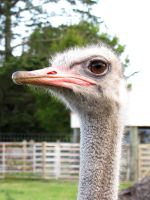 Ostrich by VapourNZ