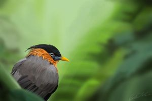 Brahminy Starling by althea9