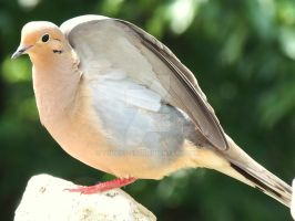Mourning Dove V2 by Tyrant-ess