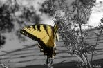 Butterfly by pisthelimit