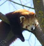 Smiling Red Panda by attack09