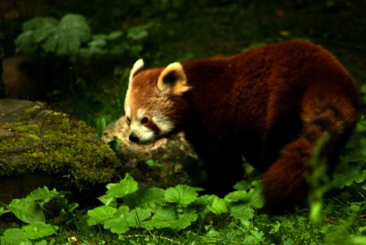 Foxy red panda by steppeland