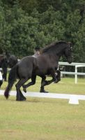 FR Showjumping no tack out of ring by Chunga-Stock