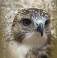 Young Red-Tailed Hawk 5 by Windthin