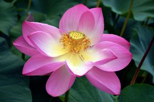 Water lily flower by AMMozart
