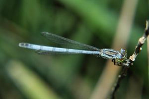 Damselfly by Anachronist84