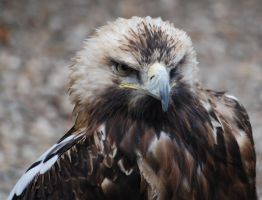 Eagle by soys
